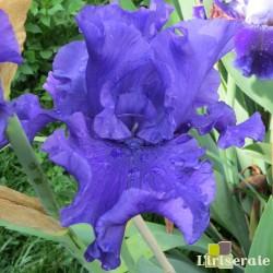 YAQUINA BLUE