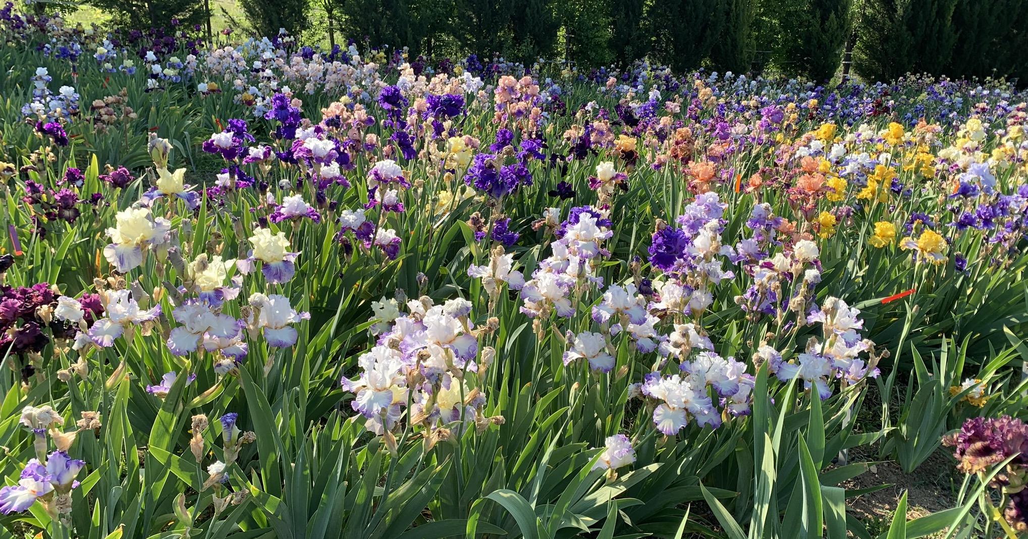 champs d'iris à L'iriseraie