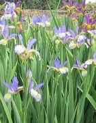 Les iris intermédiaires